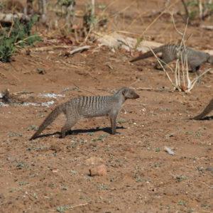 Cruzaron ante nosotros un montón de mangostas en varias ocasiones
