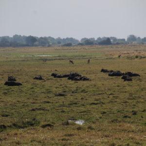 Las manadas de búfalos se podía ver desde bien lejos