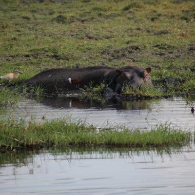 Un hipopótamo sumergido ya tiene un tamaño considerable