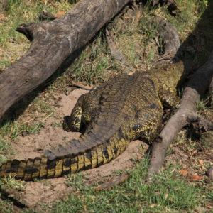 Este cocodrilo hembra está incubando sus huevos y es que durante este periodo que dura aproximadamente 3 meses, no se alejan de sus futuras crías más que para lo estrictamente esencial