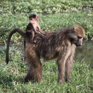 ¡Qué cómodo va este bebe de mono a la espada de su madre!