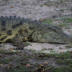 Este cocodrilo que pudimos ver de cerca nos pareció precioso