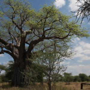 El baobab es muy típico de Tanzania y también se lo conoce como el árbol del revés, porque cuando no tiene hojas sus ramas parecen raíces