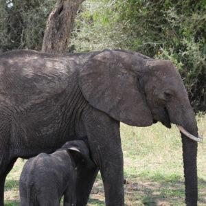 El elefante es de los pocos mamíferos que tienen los pechos entre las patas delanteras