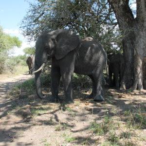 ¿Veis lo cerca que está la pista para coches de este elefante? ¡Pues por ahí pasamos y así de cerca lo vimos!