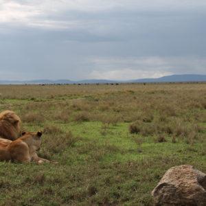Ñus al fondo, bajo la lejana mirada de los 3 leones