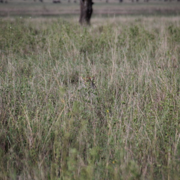 ¿Donde está el leopardo?