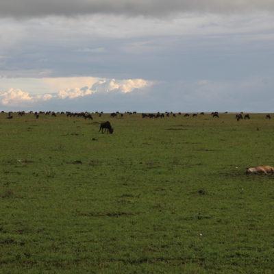 Una vaga hiena ignora al gran grupo de ñus del fondo