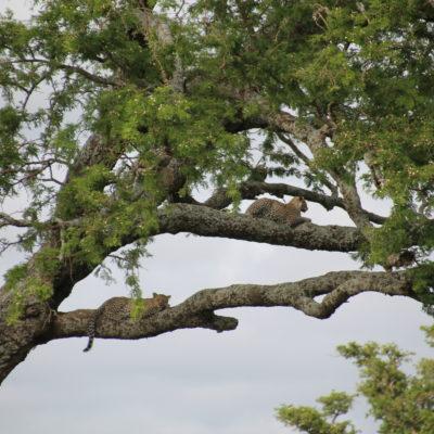Dos leopardos, madre e hijo, descansan plácidamente en las ramas de un árbol