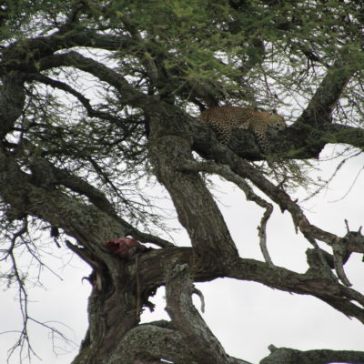 ¿Podéis ver la presa (medio comida) que ha subido el leopardo al árbol?