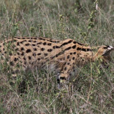 Este serval fue la última sorpresa del parque