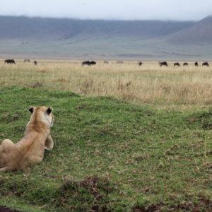 Una leona mira la manada de ñus que pasta tranquilamente, pero no tiene ninguna intención de atacarlos