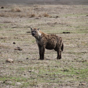 ¿Una hiena embarazada o con la tripa bien llena?