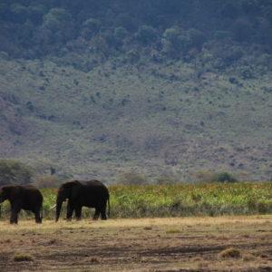 El cementerio de elefantes existe y es el sitio con hierba y tierras blandas donde van los elefantes viejos