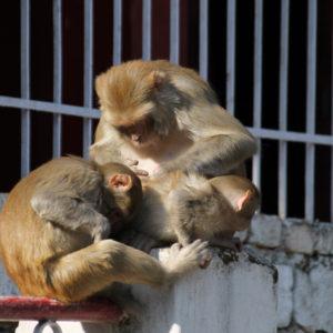 Es muy fácil encontrarse con monos por todo el pueblo, pero por suerte no son agresivos