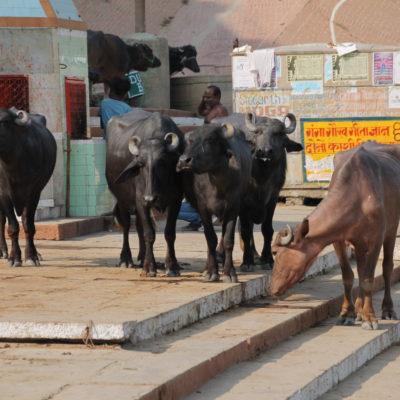 Como no podía ser de otra manera, en los ghats no faltan tampoco las vacas y los búfalos