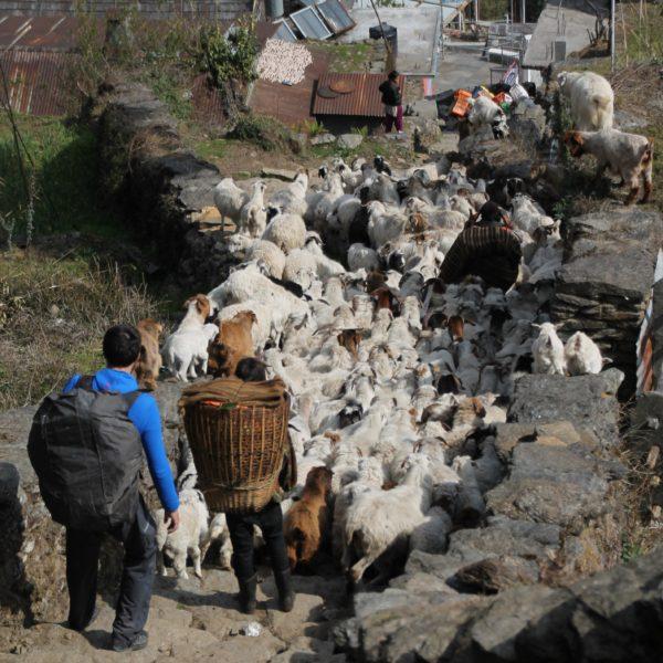 En Chhomrong nos encontramos con este atasco de ovejas y cabras, ¿qué os parece?