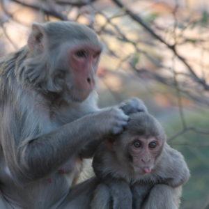 ¿Los monos también se quitan los piojos?