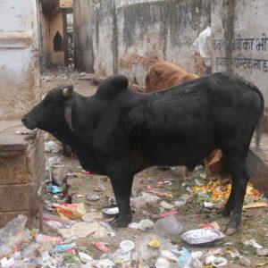 Ésta es una vaca jorobada y el resto tonterías