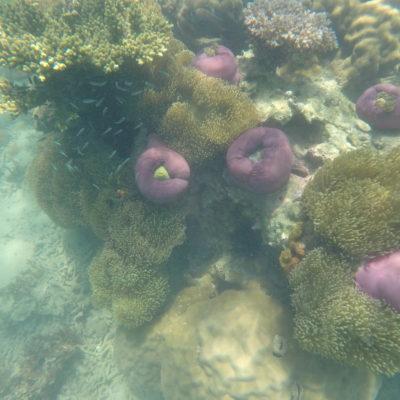 Increibles grupos de anémonas moradas; abiertas y cerradas