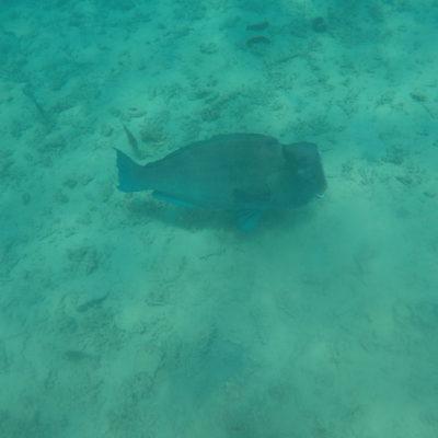 La gran sorpresa fue el pez Napoleón; vimos un gran grupo y eran ¡tan grandes!