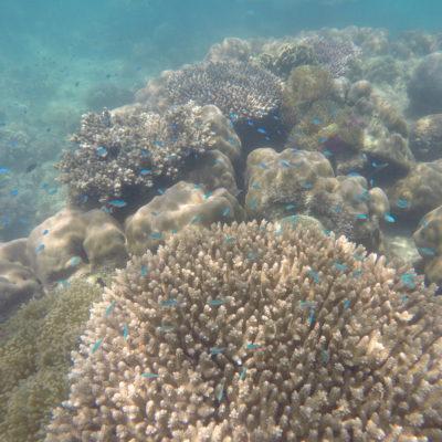 Pequeños pececitos azules nadan sobre y alrededor del coral