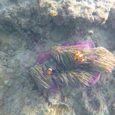 Nemo en la anémona siempre nos llama la atención