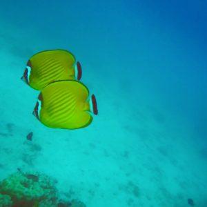 Que llamativo era este amarillo de los peces mariposa