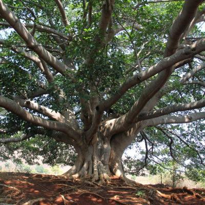 Durante todo el recorrido vimos varios árboles enormes con ramas larguísimas y raíces que llegaban hasta muy lejos