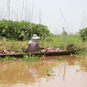 Los locales recogen desde el barco su cosecha plantada en el lago, como estas berenjenas
