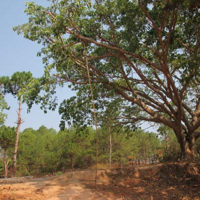 La caña de bambú que sujeta una rama de este árbol, realmente oculta bajo tierra un trozo de uña y otro de pelo de una persona que cree que su salud mejorará de esta manera