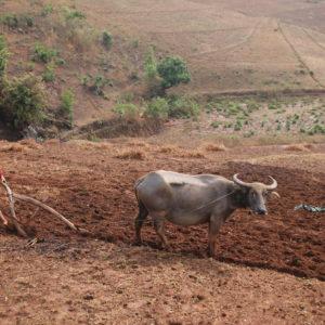 """Con esta """"herramienta"""" tan rudimentaria iba a arar la tierra este bufalo de agua"""