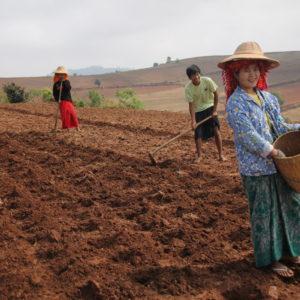 Otro de los cultivos de la zona es la patata, lo que están sembrando estos jóvenes
