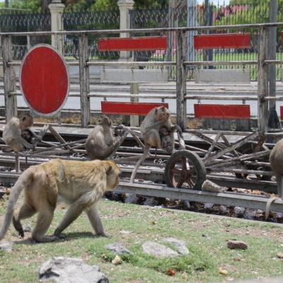 Alrededor del templo hay montones de monos, de todos los tamaños y con muchas crías