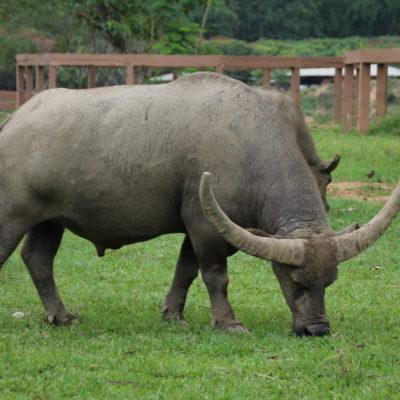 Además de elefantes se encargan también de otros animales, como este búfalo de agua con enormes cuernos