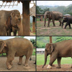 Tratan elefantes con todo tipo de daños: patas heridos a causa de minas terrestres, orejas cortadas, abcesos...