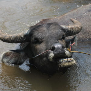 Mientras paseábamos este búfalo de agua nos dió un susto enorme porqué no lo habíamos visto