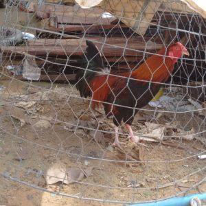Es el sitio donde más gallos de pelea hemos visto, pobrecillos...