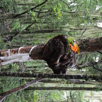 Este enorme nudo del árbol nos llamó mucho la atención