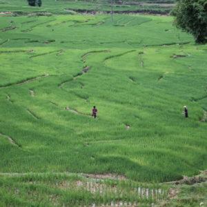 Vimos a varios campesinos trabajando en los arrozales