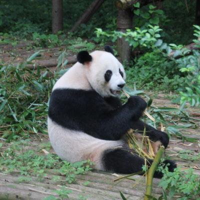 ¡Qué ilusión nos hizo ver el adorable oso panda!