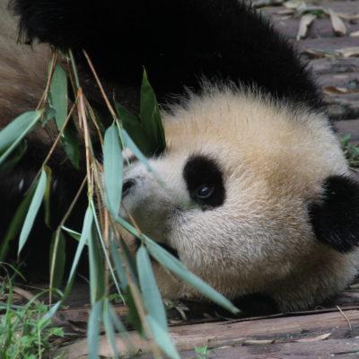 El oso panda es un animal muy vago que consume muy poca energia a lo largo de su vida
