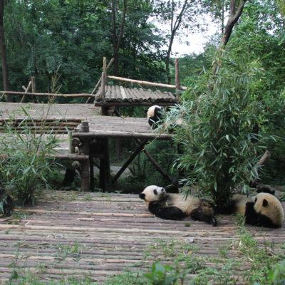 Estuvimos un buen rato observando cómo este grupo de osos panda comían tumbados panza arriba