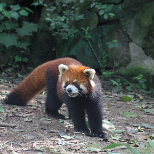 Y la sorpresa de la visita resultó ser el panda rojo, un animal que no sabíamos ni que existía