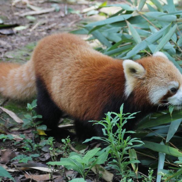 La verdad es que no sabemos muy bien que tiene en común en panda rojo con el panda de toda la vida, pero a nosotros nos encantó verlo allí