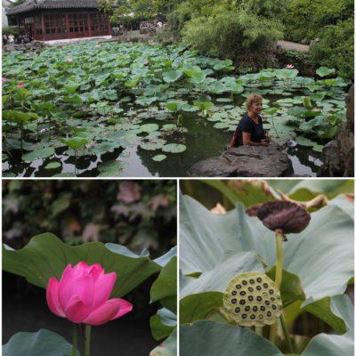 Es curioso ver flores de loto, con o sin pétalos
