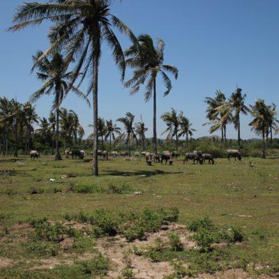 Aunque nos son los de áfrica, en Lombok también abundan los búfalos