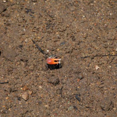 Los graciosos cangrejos violinistas que tienen pinzas de tamaño exageradamente diferentes