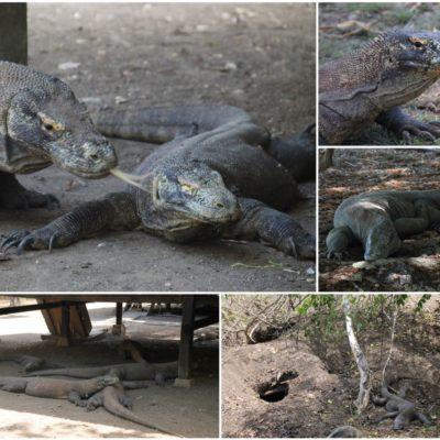 Los enormes dragones de Komodo